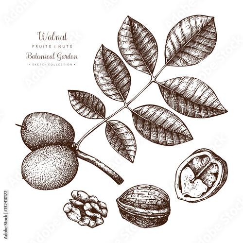 Walnut botanical illustration vintage tree sketch on white walnut botanical illustration vintage tree sketch on white background hand drawn vector nuts thecheapjerseys Gallery