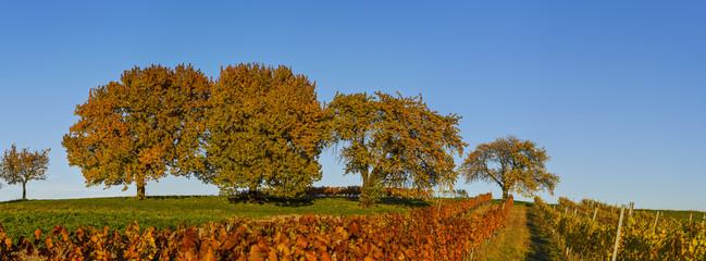 Cherry tree, Rosalia, Lower Austria, Austria