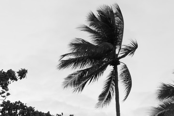A single palm tree pulled by gusty wind on a tropical beach with
