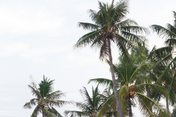 Palm trees in the wind on a tropical coastline in Thailand.  Cop