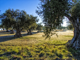 Atardecer en campo de olivos