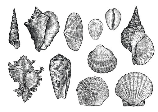 Seashell collection, engraving, illustration, drawing collection