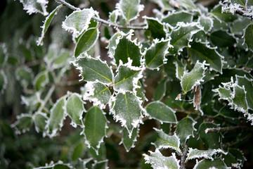 Ilex im Winter