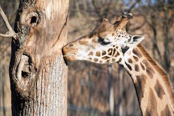 muso simpatico di giraffa vicino ad un albero in africa