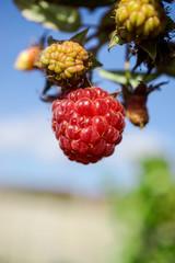 Amazing rasberry