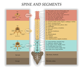 Human Spine in front, diagram with the name and description of all sections of the vertebrae and segments. Vector illustration.