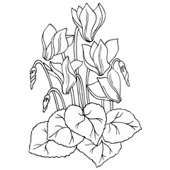 vector contour sketch of cyclamen flower