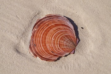 Colourful Scallop Shell on tropical white sandy Coongul Beach, World heritage site Frazer Island.