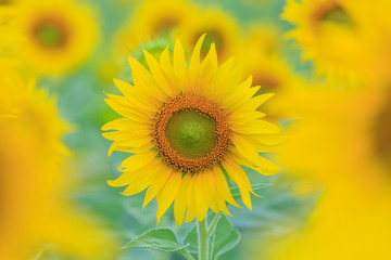 Closeup to Sunflower field at the mountain