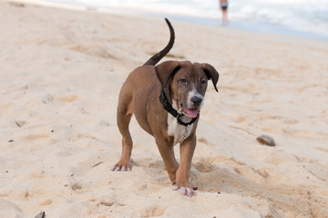 Hound Dog Playing on the Beach in Hawaii