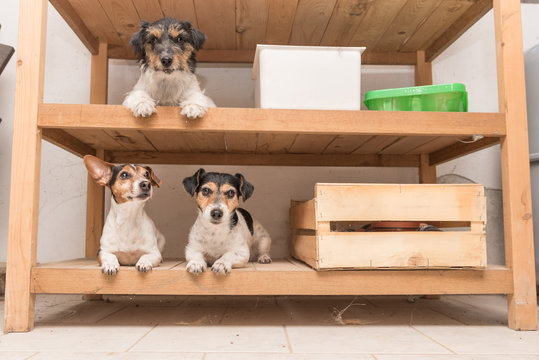 Dog beds arranged in the wooden shelf - jack russell terrier