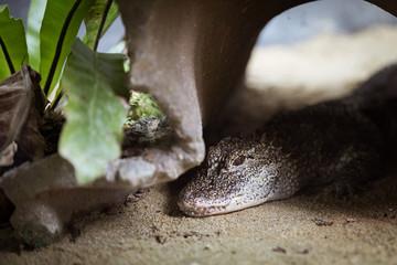 Closeup on an alligator's head