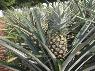 Ripe pineapple fruit in the farms located in Serdang, Malaysia.