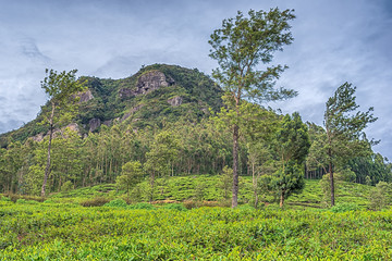 Sri Lanka: famous Ceylon highland tea fields in Nuwara Eliya