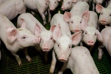 Pig farm. Little piglets