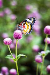 Butterfly Flowers , Globe amaranth  Image ID:542551651