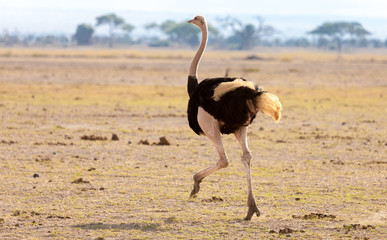 An ostrich is running, on safari in Kenya