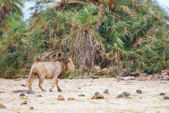 A lion is walk away in the bush, safari in Kenya