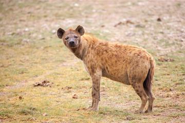 Fotobehang Hyena Hyena is watching, on safari in Kenya