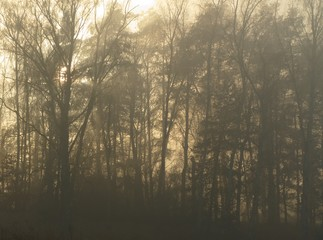 Foggy forest with morning sun