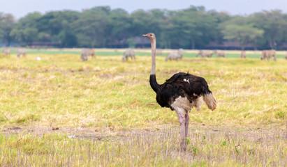 Big ostrich is walking in the savannah of Kenya