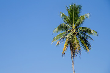 The coconut tree on blue sky background