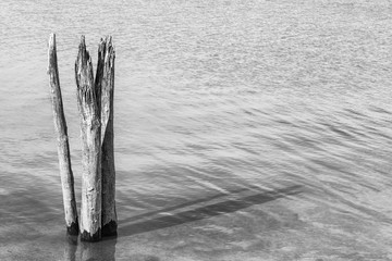 Dead Tree stumps in Lake (Black and White)