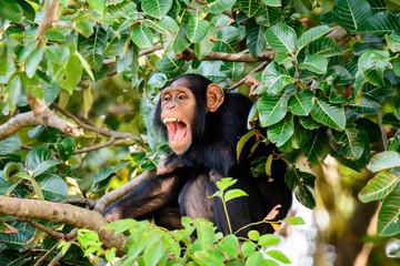 Chimp having a good laugh