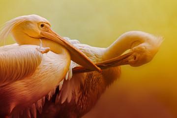 Portrait of pelican birds , Kolkata, West Bengal, India Wall mural
