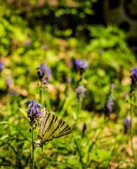 Летняя открытка. бабочка махаон и лесные гиацинты