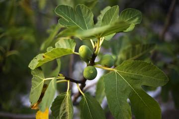 Organic fig tree in Dalmatia, Croatia