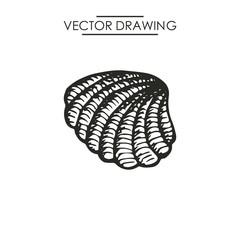 shell drawing. vector illustration