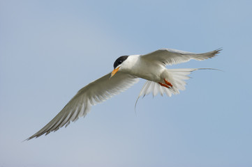Tern in the Blue Sky