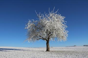 schneebedeckter Apfelbaum in der Morgensonne