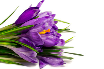 spring  flowers,crocus