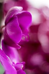 Розовая орхидея крупным планом.