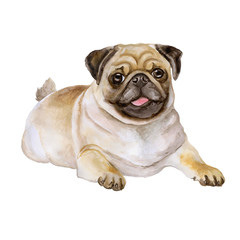 Watercolor portrait of white and black Pug breed dog, Mops, Chinese pug, Dutch bulldog, Dutch mastiff, Mini mastiff, Carlin isolated on white background. Hand drawn sweet pet. Greeting card design