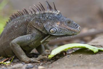 Green Iguana Igauna iguana Bay Island Honduras Carribean Ocean