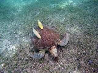 Mexican Sea Turtle underwater swimming Acumal bay 9