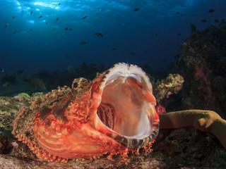 Scorpionfish fish yawn mouth open