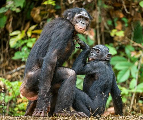 Bonobo chimp sexuality