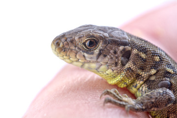 A lizard on a human finger on a white background