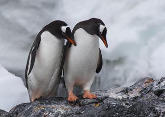 Gentoo Penguin on the rock