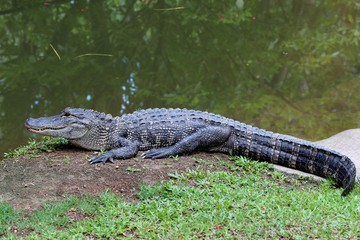 Alligator americain