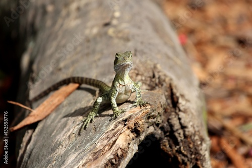 Baby Eastern Water Dragon Queensland Australia Stock Photo And