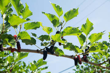 Fresh ripe mulberry berries on tree - Fresh mulberry , black ripe and red unripe mulberries on the branch
