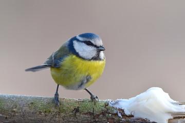 Papiers peints Oiseau Blue tit with tallow
