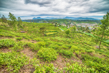 Sri Lanka: highland tea fields in Nuwara Eliya