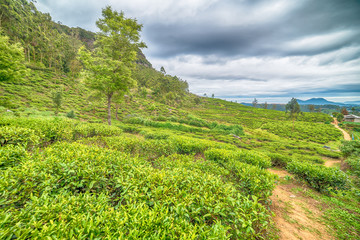 Sri Lanka: highland tea fields in Nuwara Eliya