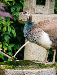 Female peacock sitting on a water fountain.